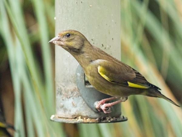 Stretching greenfinch by oldgreyheron