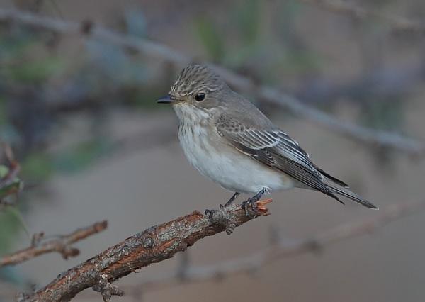 Spotted Flycatcher by NeilSchofield