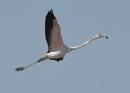Juvenile Flamingo in Flight by NeilSchofield