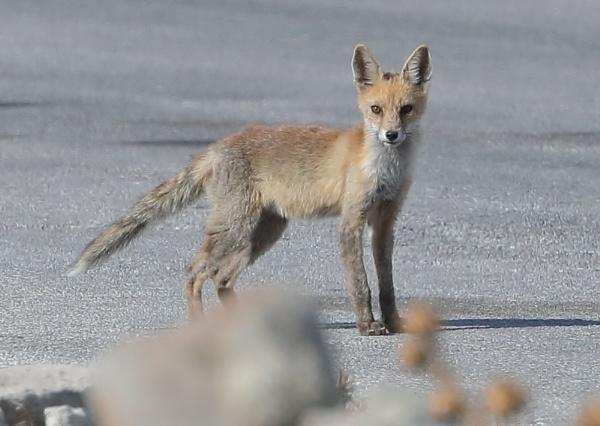 Greek Fox by NeilSchofield