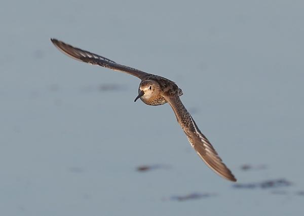 Dunlin in Flight by NeilSchofield