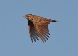 Skylarks in Flight