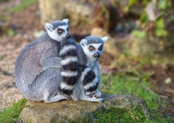 Ring-Tailed Lemur by BobA