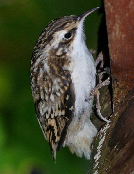 Tree Creeper by HobbitDave