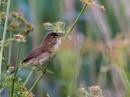 Reed Warbler by john_slevin