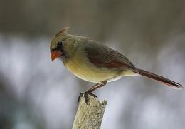 Cardinal female