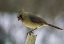 Cardinal female by winger