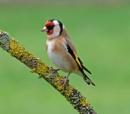 goldfinch by bluetitblue