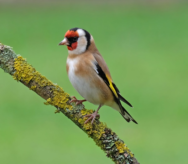 goldfinch by bluetitblue