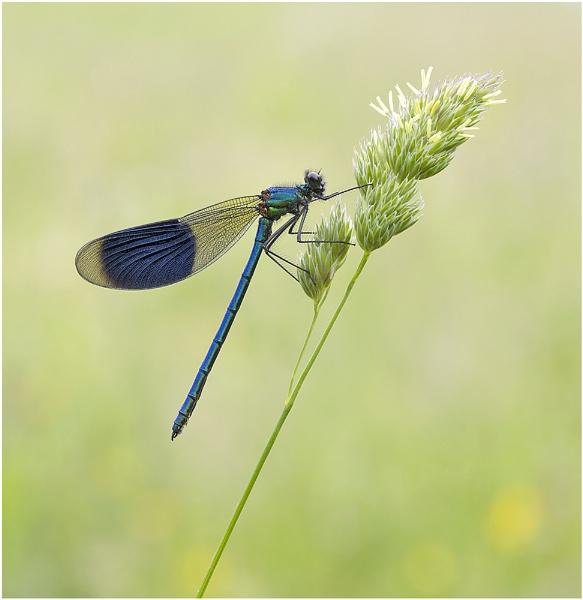 Banded Demoiselle. by NigelKiteley