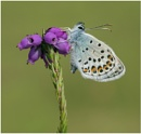 Silver Studded Blue by NigelKiteley