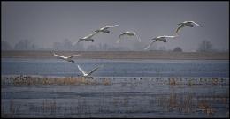Seven Swans a'Flyin