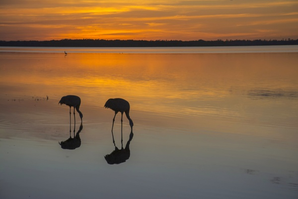 Sandhill cranes feeding at sunset by jbsaladino