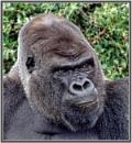 Western Lowlands Gorilla - Oumbi by PhilT2