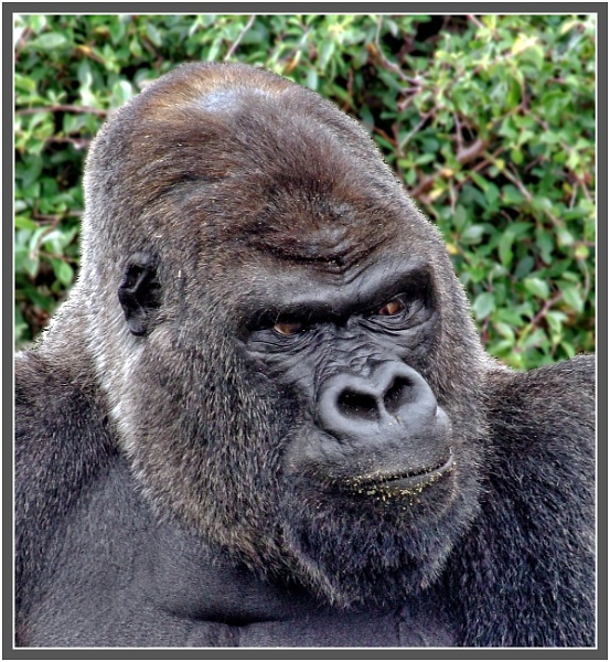 Western Lowlands Gorilla - Oumbi by PhilT2