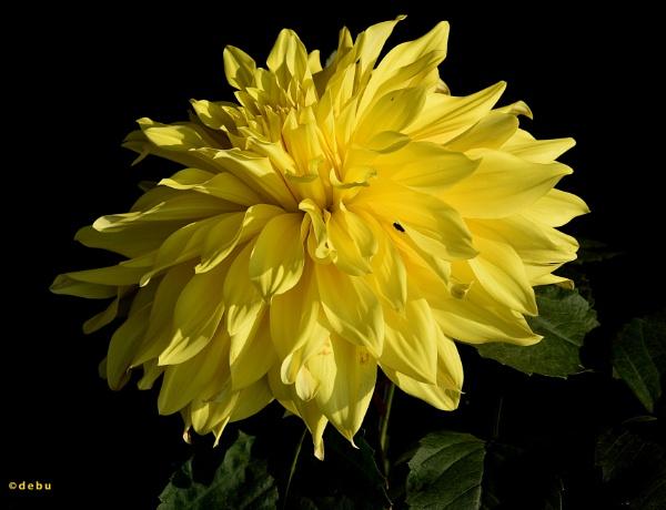 Yellow Dinner Plate Dahlia