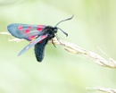 Burnet Moth by Alan_Baseley