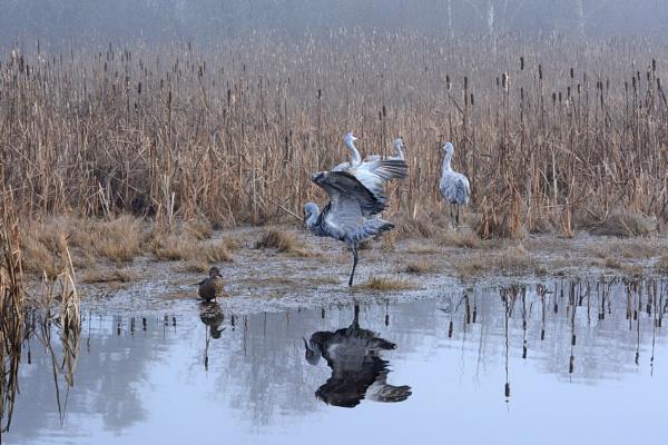 Sandhill Cranes by RSK