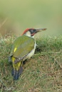 Green Woodpecker by Louise_Morris