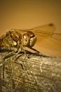 dragon fly head by tpfkapm