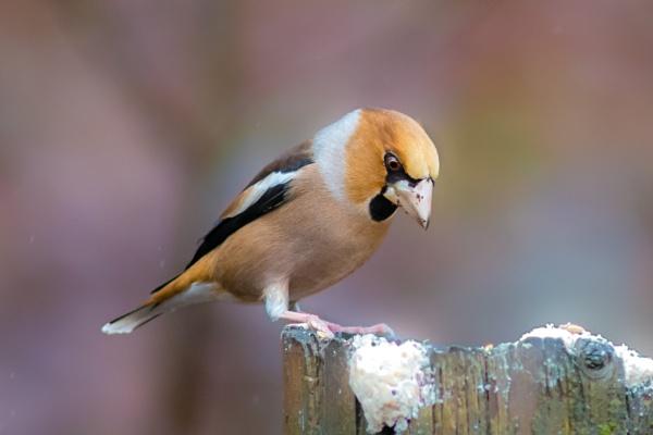 Hawfinch by brrttpaul
