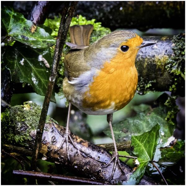 Robin by daibev