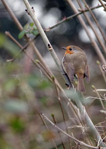 Friendly Robin Perched on a Twig
