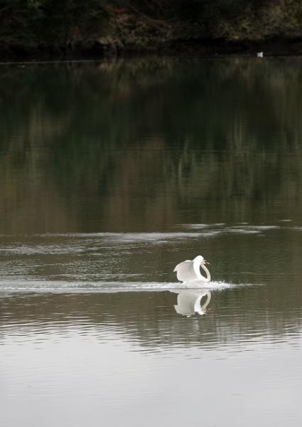 Swan Gracefully Landing 1