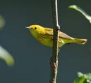 Tiny yellow  warbler by tonyguitar