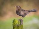 Mrs Blackbird by Stevetheroofer
