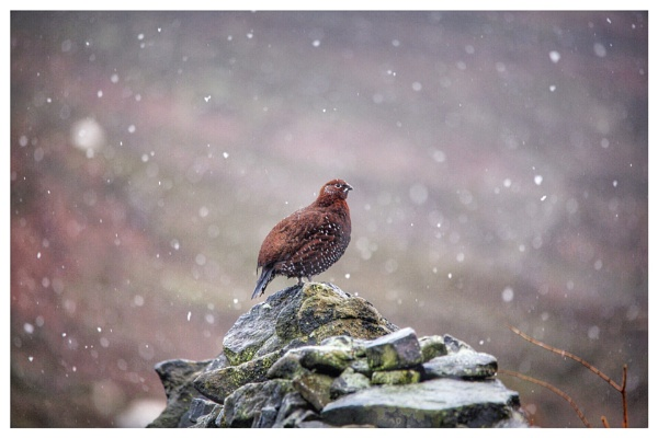 Red grouse in the snow