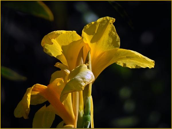 Canna flaccida by fotobee