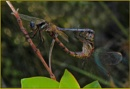 Two mating dragonflies by fotobee