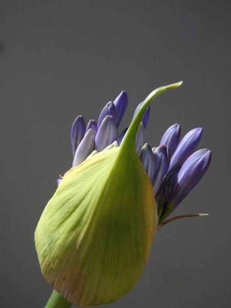 Agapanthus bud by artgaz1062