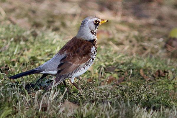 Fieldfare--Turdus pilaris by bobpaige1