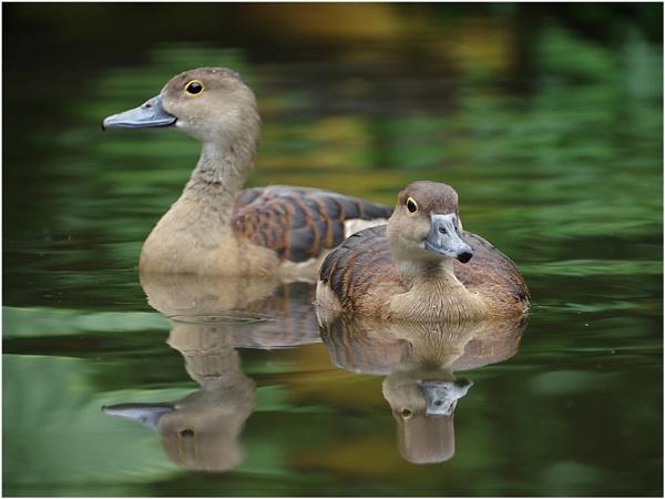 African Ducks