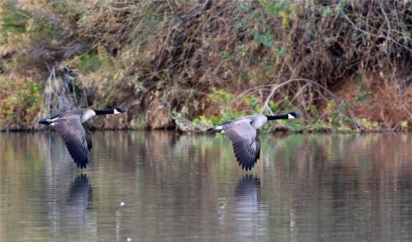 Low geese at morning, sailors something something by AudiusLoudus