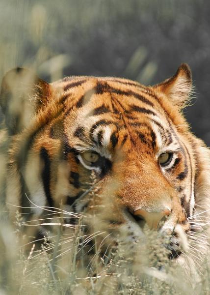 Tiger, tiger by BiffoClick