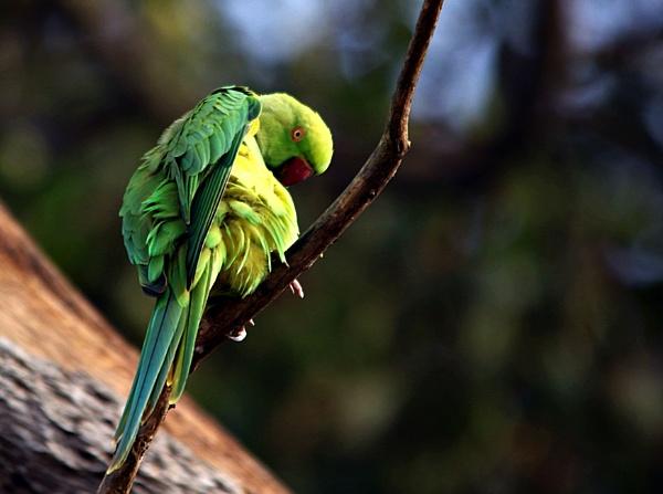 Parakeet by ashokynk