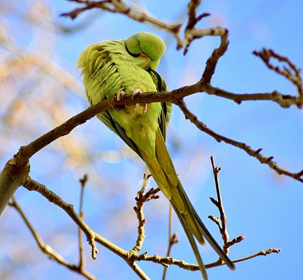 Ring neck parakeet