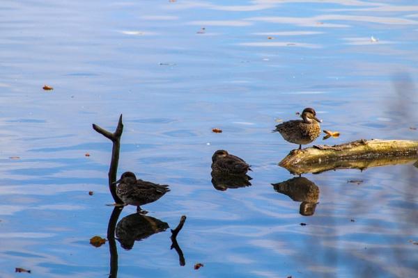 Ducks by OverthehillPhil