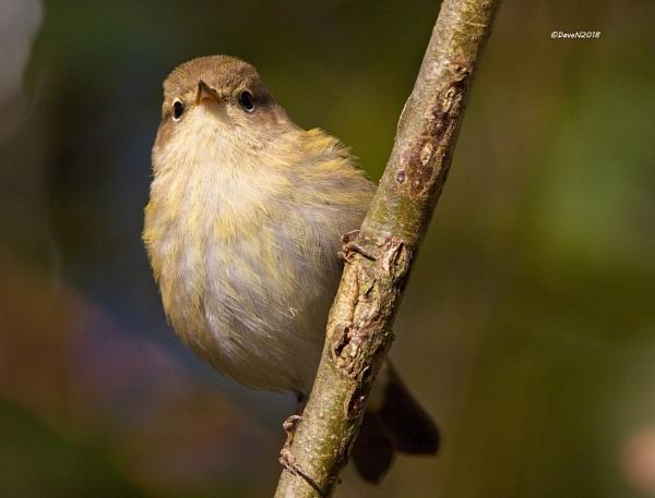 Chiffchaff (Phylloscopus collybita) by DaveNewbury