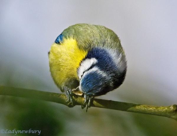 A ball of blue tit by ladynewbury