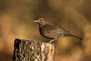 Mrs Blackbird by ValSaxby
