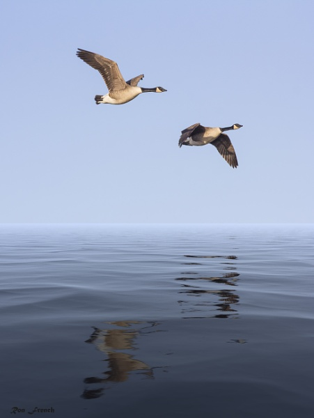 Canada geese in flight by frenchie44