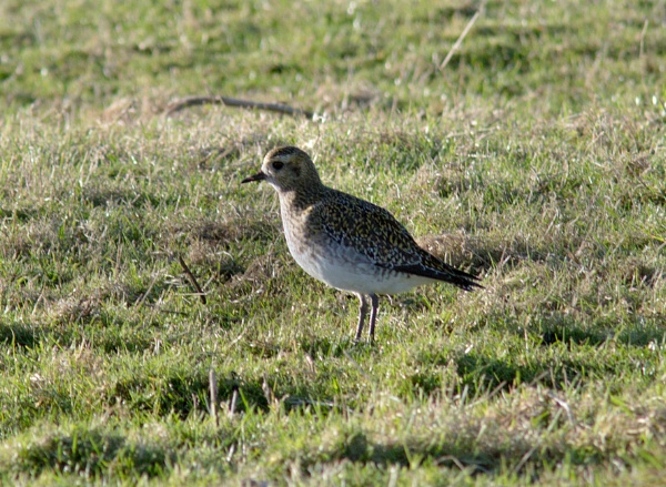 Golden Plover by oldgreyheron