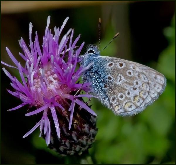 Common Blue-Male..