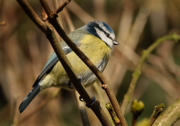 Bluetit. by paulbroad