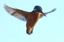 kingfisher by colin beeley