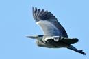 heron by colin beeley